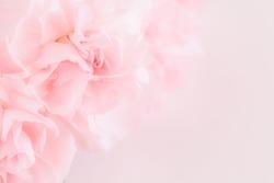 Pink Carnation Flowers Bouquet on light pink background. soft filter.