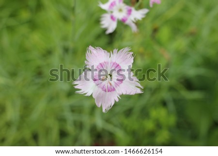 Pink carnation is a small decorative in the garden. A delicate and beautiful delicate flower. Gardening and floristry. Subsistence farming #1466626154