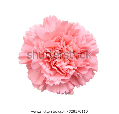 Pink carnation on white