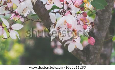 Pink cassia
