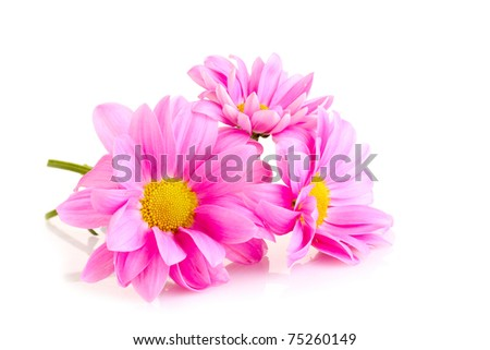 Pink Chamomile isolated on white