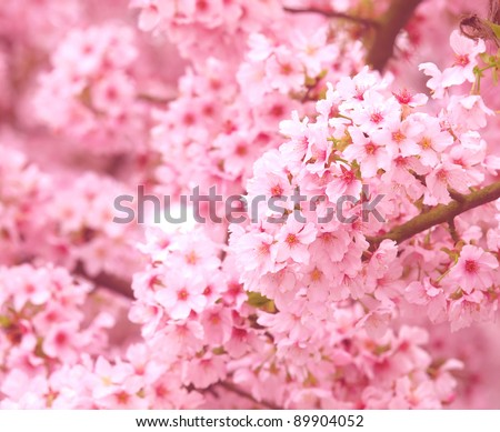 Pink cherry as background
