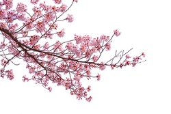 Pink cherry blossom blooming on white background.