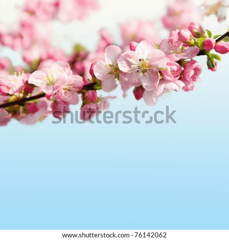Pink Cherry Blossom Floral Border shallow DOF - stock photo