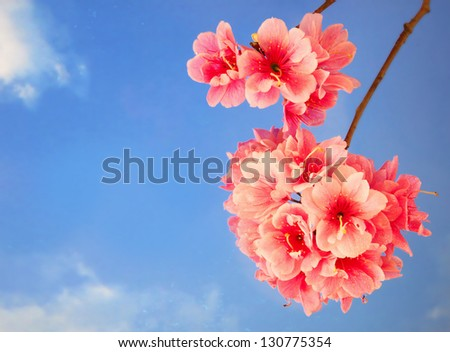 Pink Cherry Blossom Flowers against a Blue Sky
