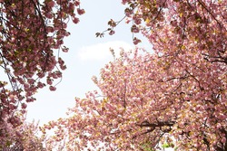 pink cherry blossom flowers are blooming in a park in May and April in Spring time in Japan.