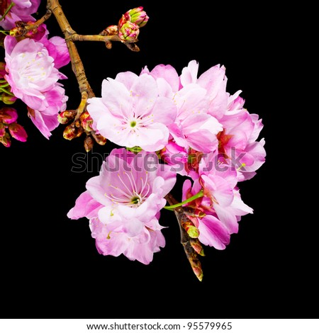 Pink Cherry Blossom Flowers isolated on black