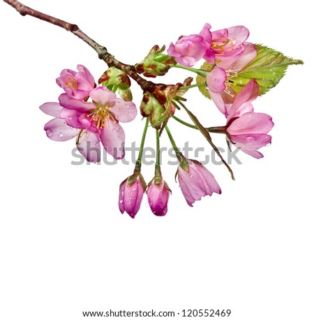 Pink cherry blossom flowers, isolated on white