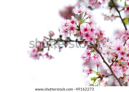 cherry blossom flower background. cherry blossom flowers on