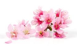 Pink Cherry blossom flowers, sakura isolated