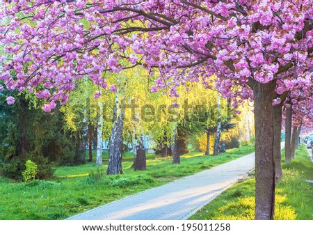 pink cherry blossom in city park - Shutterstock ID 195011258