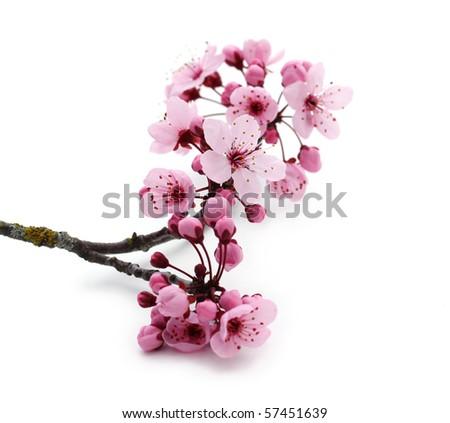Pink cherry blossom on white