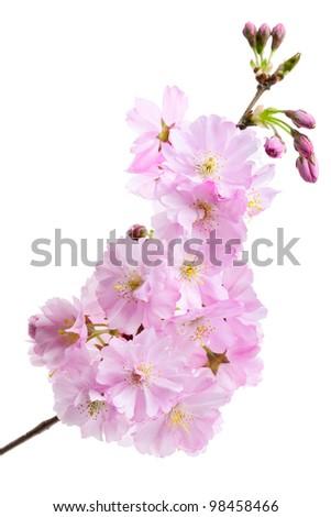 Pink cherry blossom (sakura flowers), isolated on white