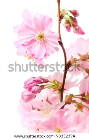 Pink cherry blossom (sakura flowers), isolated on white, shallow dof