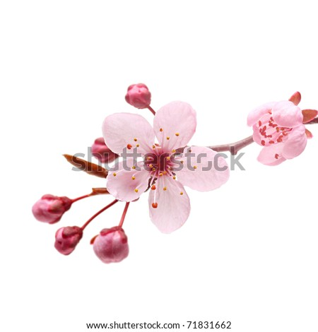 Pink cherry blossom sakura on white
