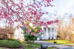 Pink cherry blossom sakura tree flowers on branches in foreground in spring in northern Virginia with bokeh blurry background of house in neighborhood