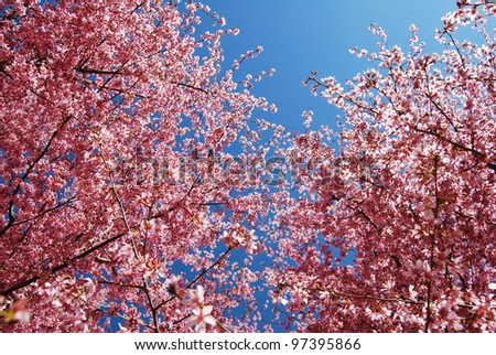 Pink Cherry Blossom Tree Branches, and a Deep Blue Sky