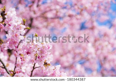 Pink cherry blossoms in front of flower blur in early spring