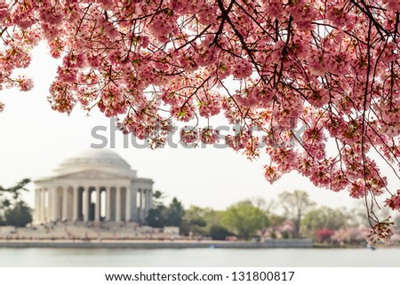 Pink cherry blossoms in spring framing the Jefferson Memorial in Washington DC