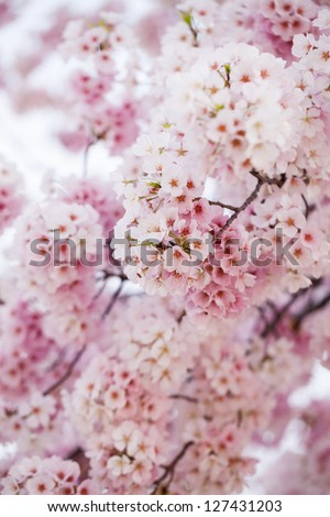 Pink cherry blossoms in springtime in Washington DC
