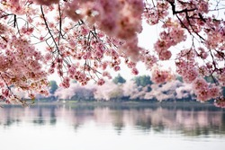 Pink cherry blossoms reflecting in the Tidal Basin in Washington DC