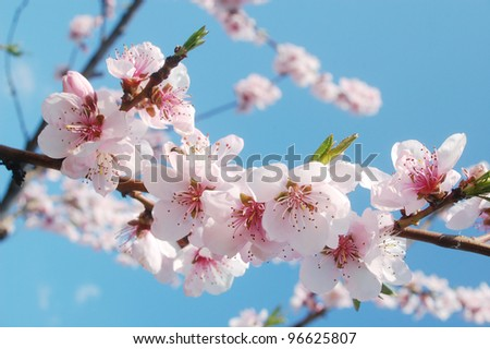 Pink cherry flowers blooming in springtime.