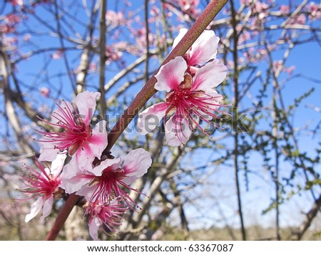 Pink cherry tree blooming at spring