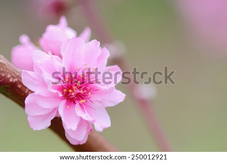 Pink Chinese plum flowers or Japanese apricot flowers, plum blossom soft focus and blurred background