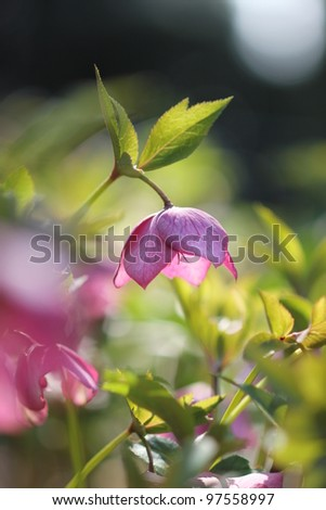 Pink Christmas rose garden