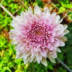 pink Chrysanthemum beautifulflower in the garden