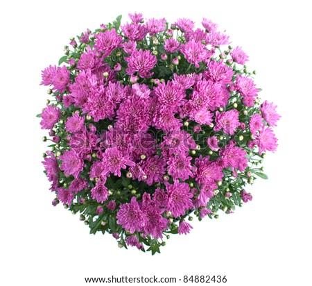 Pink Chrysanthemum Bush Isolated On White