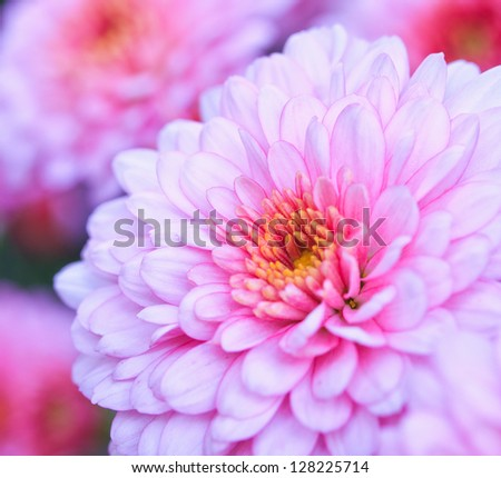 Pink chrysanthemum flower close up