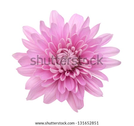 Pink Chrysanthemum Flower Isolated on White Background. Macro Closeup