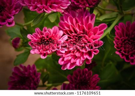 Pink Chrysanthemum Flower-Mums Flowers In The Garden #1176109651