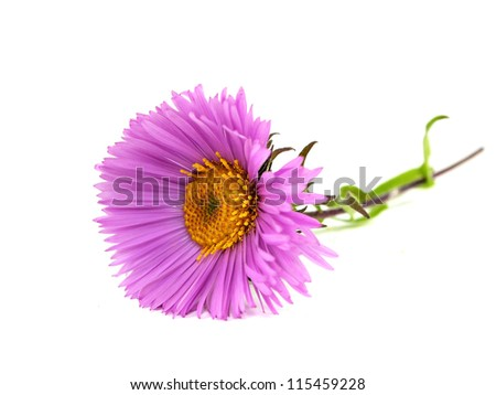 pink chrysanthemum flower on a white background