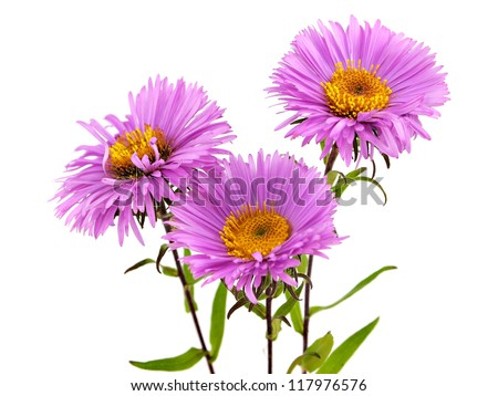 pink chrysanthemum flower on a white background - stock photo