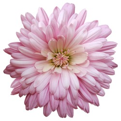 pink  chrysanthemum.  Flower on a white isolated background with clipping path.  For design.  Closeup.  Nature.