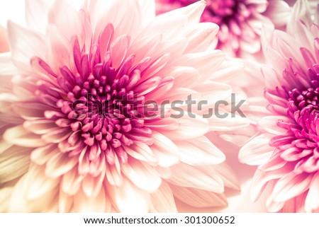Pink Chrysanthemum flowers #301300652
