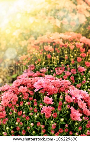 Pink chrysanthemum flowers background