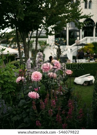 pink chrysanthemum flowers in a garden with a lawn mowing robot in the background 3 #546079822