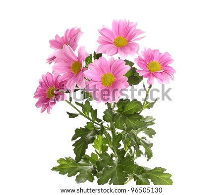 Pink chrysanthemum flowers isolated on white