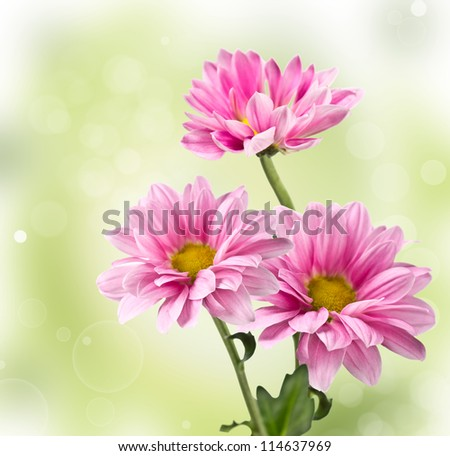 Pink chrysanthemum flowers  on blurred background