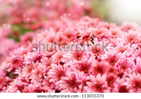 Pink chrysanthemum flowers over background
