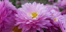 Pink chrysanthemum in dewdrops in the autumn morning, on a bush(side view).
