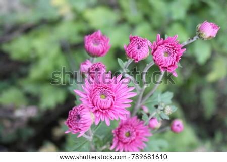 Pink chrysanthemum on green. Chrysanthemums annuals branch for background or greeting card. Detail of chrysanthemum flower head closeup. Chrysanthemum wallpaper in autumn. #789681610