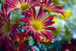 Pink chrysanthemums close up in autumn Sunny day in the garden. Autumn flowers. Flower head