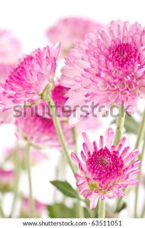 Pink chrysanthemums closeup.