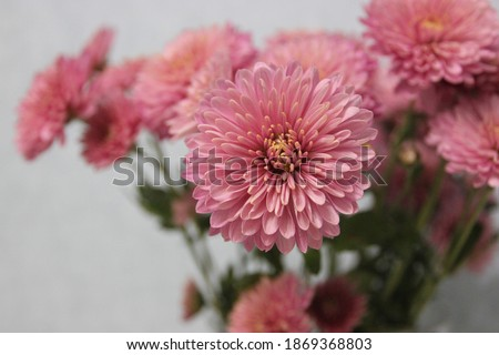 Pink chrysanthemums in a glass vase on a light blurred background, holiday Foto stock ©
