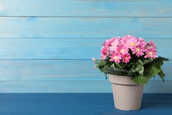 Pink cineraria plant in flower pot on blue wooden table. Space for text
