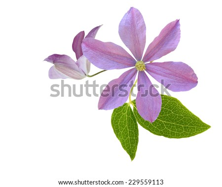 pink clematis flower on a white background